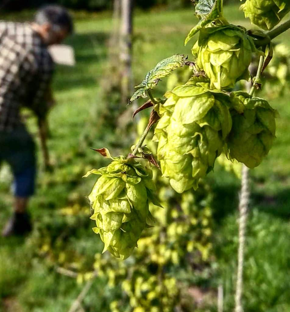 Dark Farm hops devon